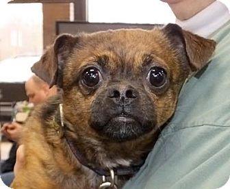 Memphis Tn Brussels Griffon Mix Meet Bugsy A Dog For Adoption Dog Adoption Brussels Griffon Griffon Dog
