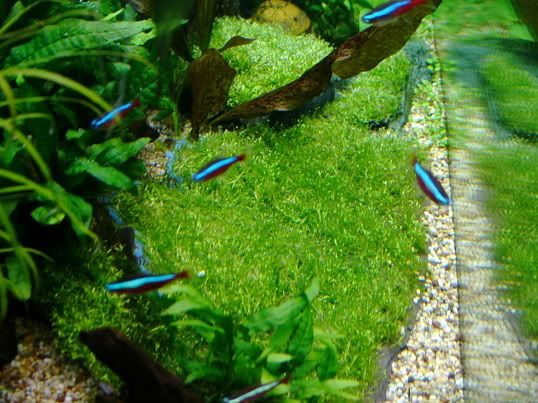 Step By Step Guide Riccia And Java Moss Archived Parc Threads Fish Plants Neon Tetra Moss
