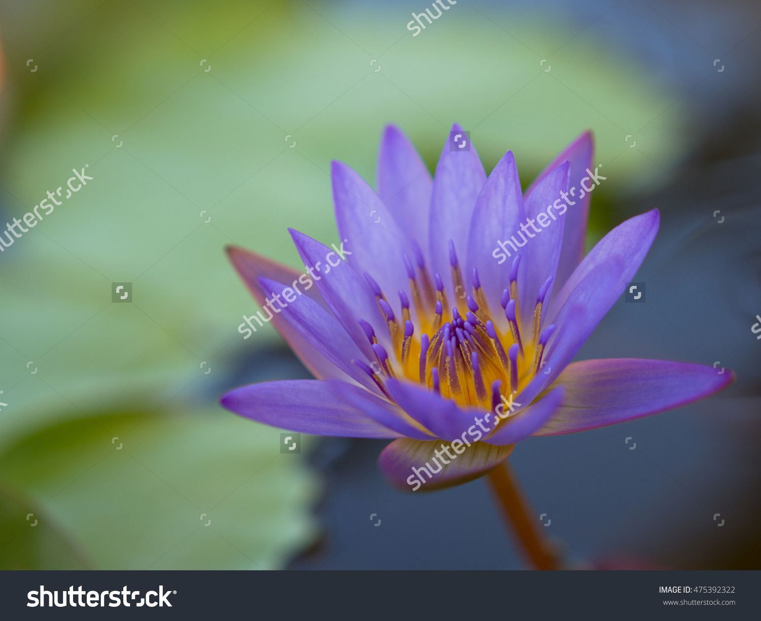 Soft focus lotus flower blooming stock photo 475392322 soft focus lotus flower blooming stock photo 475392322 shutterstock izmirmasajfo