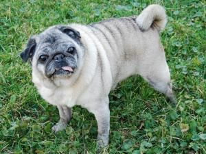 Bonita Is An Adoptable Pug Dog In Deerfield Il Come Visit Our