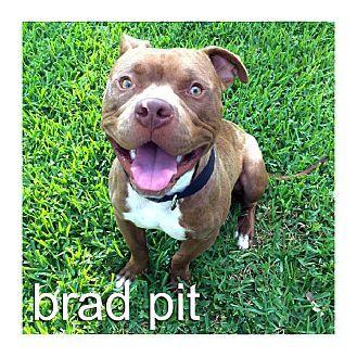 Dallas, TX Staffordshire Bull Terrier/American Pit Bull