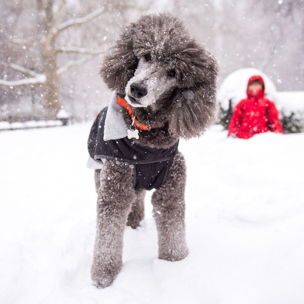 Plum Standard Poodle 10 Y O Washington Square Park New York