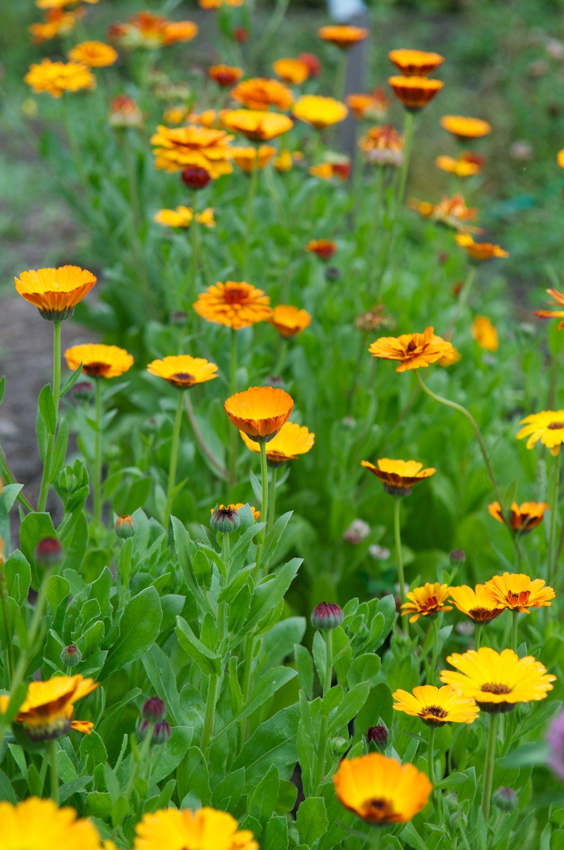 Latin name Calendula, Common name Pot Marigold Medicinal