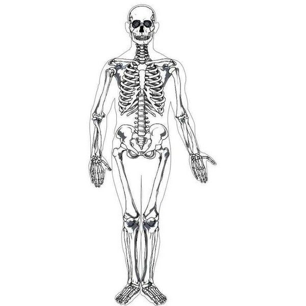 human skeleton printable (realistic, anatomy, not cartoon, Skeleton