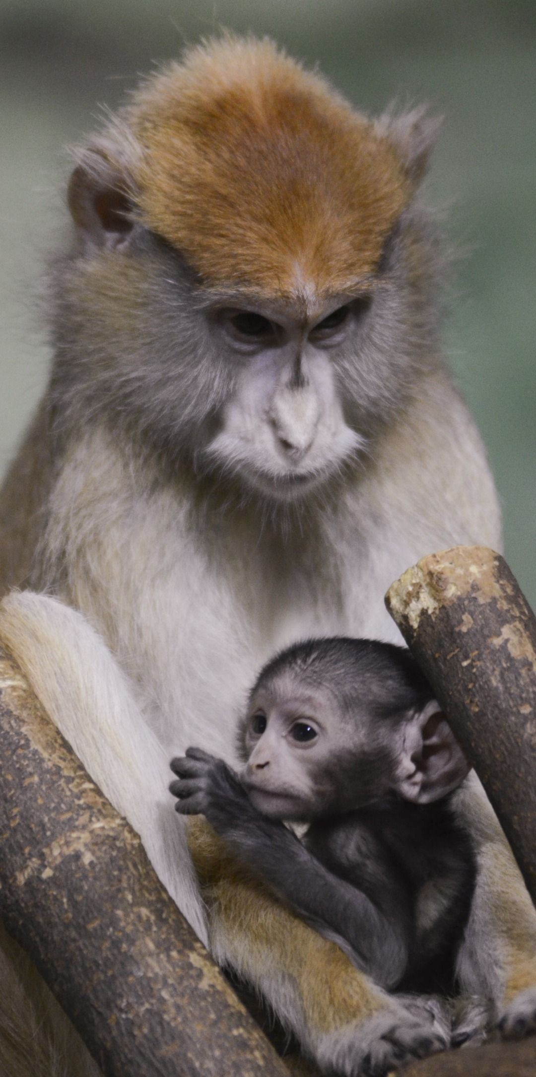 UPDATE! Baby Patas Monkey Gets Her Name Patas monkey
