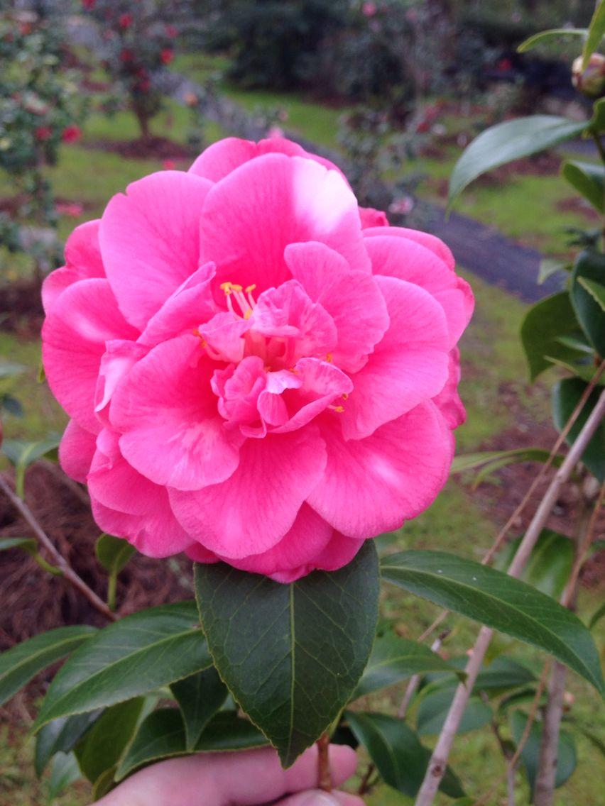 Camellia Margaret Vickery Bob Wines Camellia Gardens Ocala Fl Camellia Flowers Wines