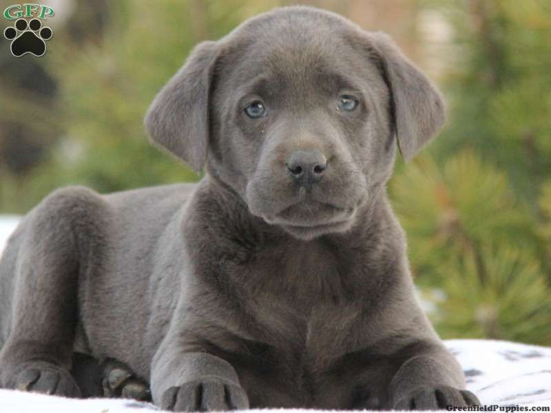 Charcoal labrador retriever puppies for sale greenfield