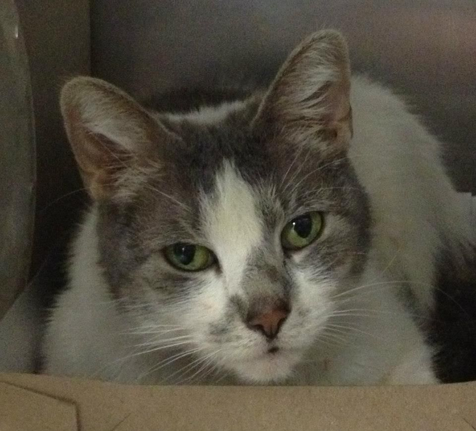 ROXY (A19243926) Shes about 35 years old, spayed