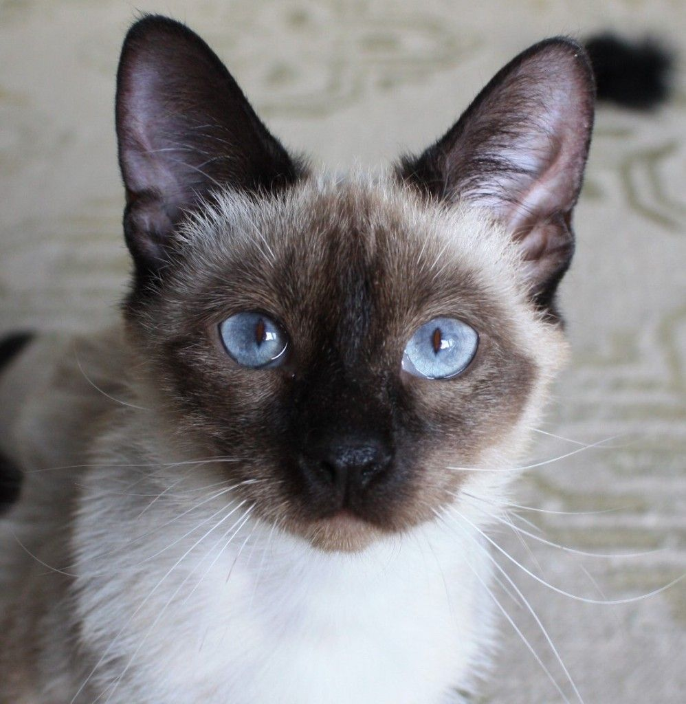 Available for Adoption Purebred Cat Rescue