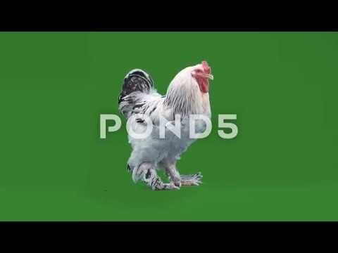 nice big rooster