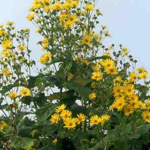 Silphium+perfoliatum | Fleures | Pinterest | Vivace, Marguerites ...
