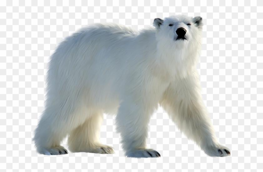 Pin By Marius Peltea On Halloween Png Polar Bear White Bear Polar