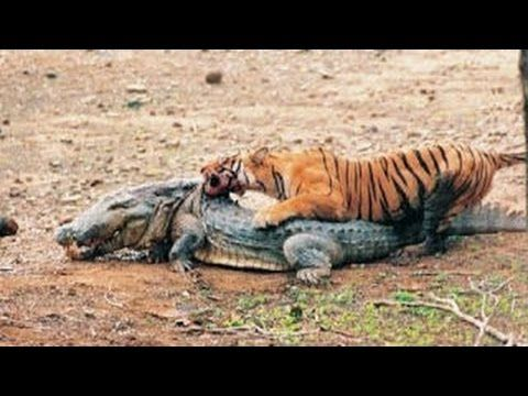 Saltwater crocodile vs tiger - photo#36