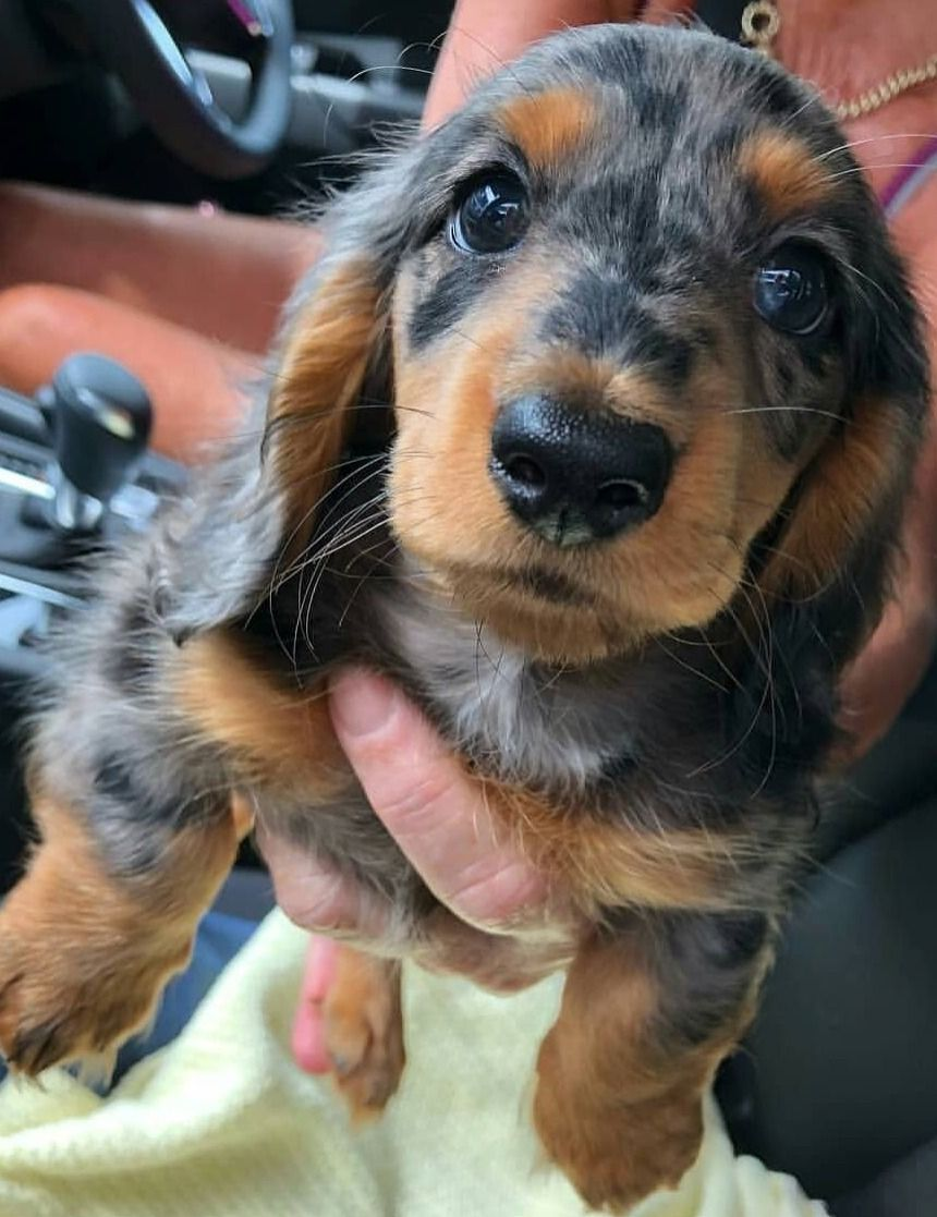 Pin By Victoria On Cute Doggos 3 In 2020 Cute Dogs Dachshund