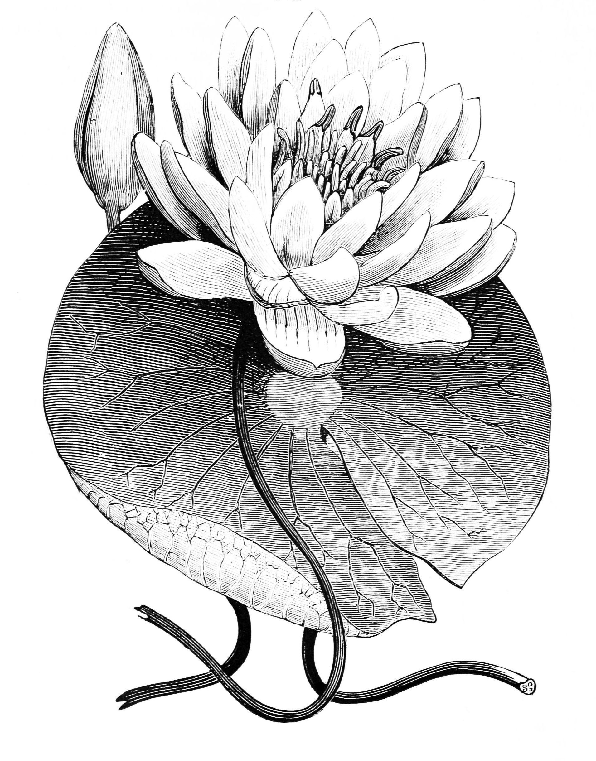 Water lily 11 am option 2 clock tattoo brucius pinterest water lily 11 am option 2 izmirmasajfo