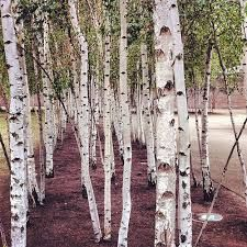 Image result for silver birch painting