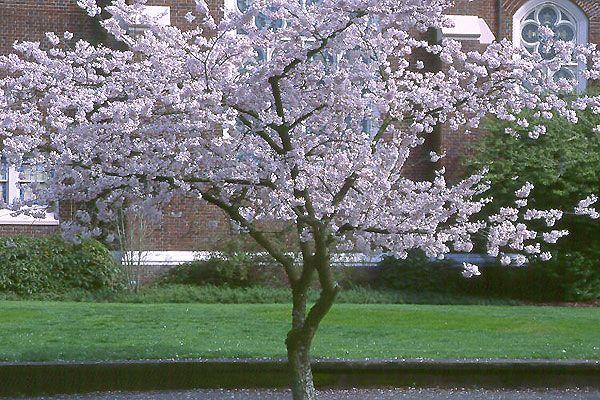 Akebono Yoshino Cherry Oregon State Univ Landscape Plants Yoshino Cherry Tree Willow Trees Garden Cherry Tree Tattoos