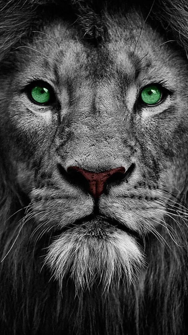 Download Leone Wallpaper By Djicio 32 Free On Zedge Now Browse Millions Of Popular Lion Wallpapers And Lion Wallpaper Lion Pictures Lion Wallpaper Iphone