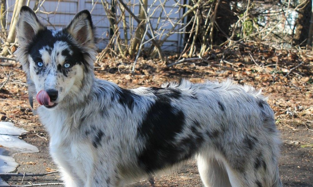 Image Result For Border Collie Cross Griffon Border Collie Rare