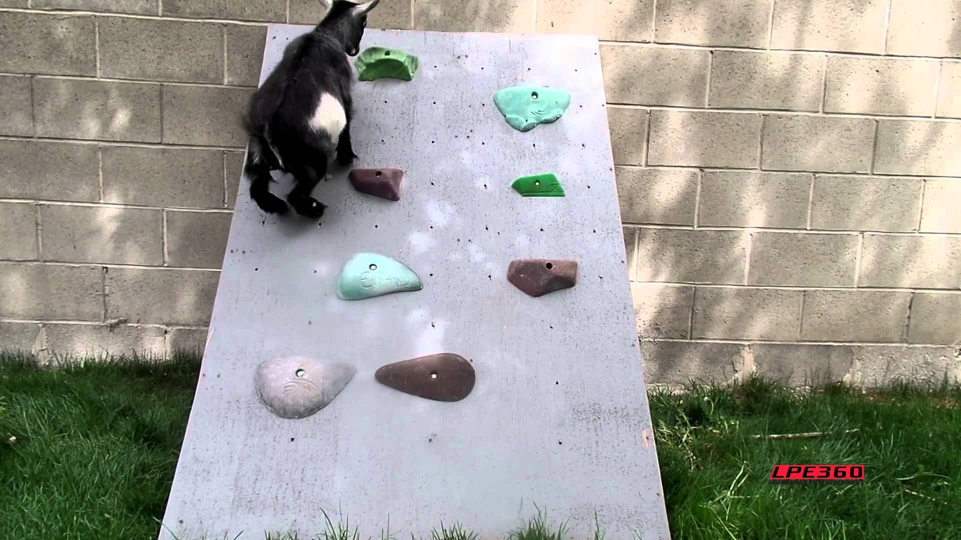 Rock Climbing Goat https://www.youtube.com/attribution_link?a=M9h17ff0d6s&u=%2Fwatch%3Fv%3DKCZEE1S8rpI%26feature%3Dshare