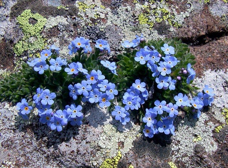 Forget-me-nots ❀