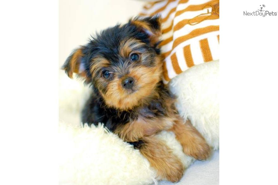 Jessica Is A Female Yorkiepoo Yorkie Poo Puppy For Sale Near Columbus Ohio Born On 12 17 2011 And Priced For 450 Li Yorkie Poo Yorkie Poo Puppies Yorkie