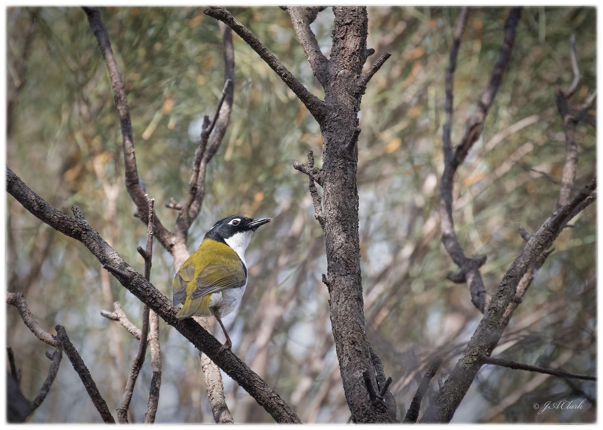 Gilbert's Honeyeater_C8A9572w Australian birds, Western