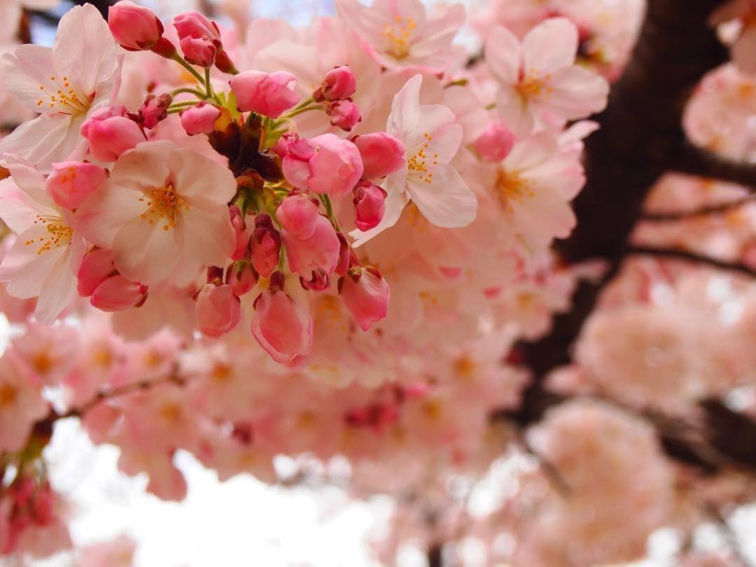 ゆり On Instagram 今日の1枚 お花見 京都 京都市 4月 カメラ女子 花のある暮らし 花のある生活 Olympus Olympuspen さくら サクラ 桜 春 ファインダー越しの私の世界 Instagram Posts Flowers Instagram