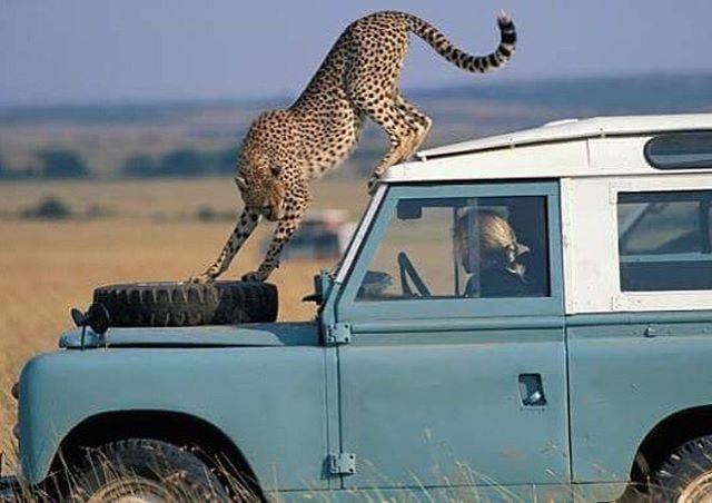 Game on! #LandRover #LandRoverDefender #Defender #Defender90 #DefenderLife #DefenderSeries #Cheetah #Safari #LandRoverLove #LandRoverMena #LandRoverPhotos #LandRoverSeries #TweakedAutomotive - photo via @landroverphotoalbum