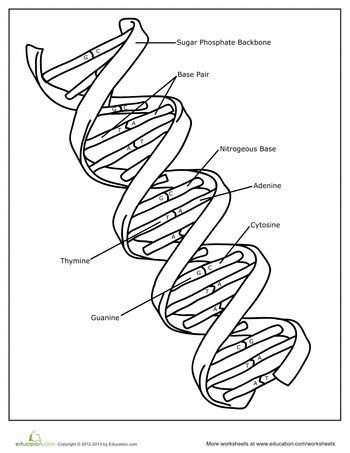 Worksheets Dna Double Helix Worksheet dna the double helix coloring worksheet page education com