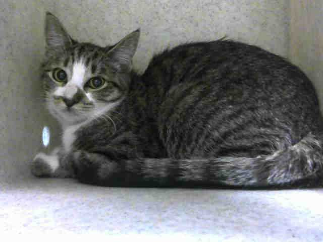 ID#A455709  I am described as a brown tabby and white Domestic Shorthair.  The shelter thinks I am about 9 months old  I have been at the shelter since Oct 08, 2015 and I am available for adoption now!  If you think I am your missing pet, please call or visit right away. For more information about this animal, call: Moreno Valley Animal Shelter at (951) 413-3790 Ask for information about animal ID number A455709