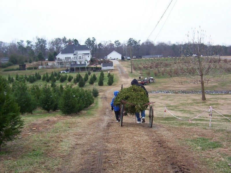 8 Great Christmas Tree Farms Near Atlanta Christmas Tree Farm Tree Farms Georgia Christmas