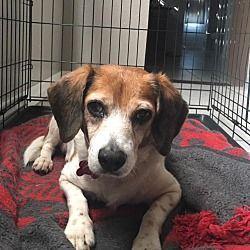 Pin By Kelly Ardoin On The Beagle Beagle Adoptable Beagle