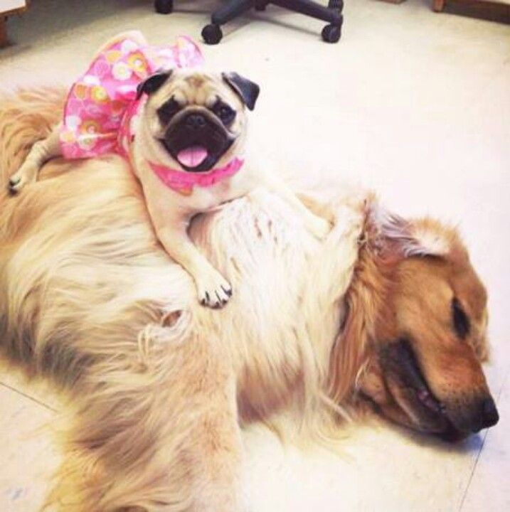Pug On A Golden Retriever This Will Be Chloe And Piper Soon
