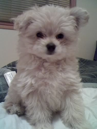Toby The Pomapoo AnimalsPets Cute Animals Cute
