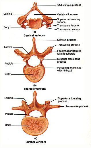 Vertebrae | anatomy | Pinterest | Anatomy, School and Radiology