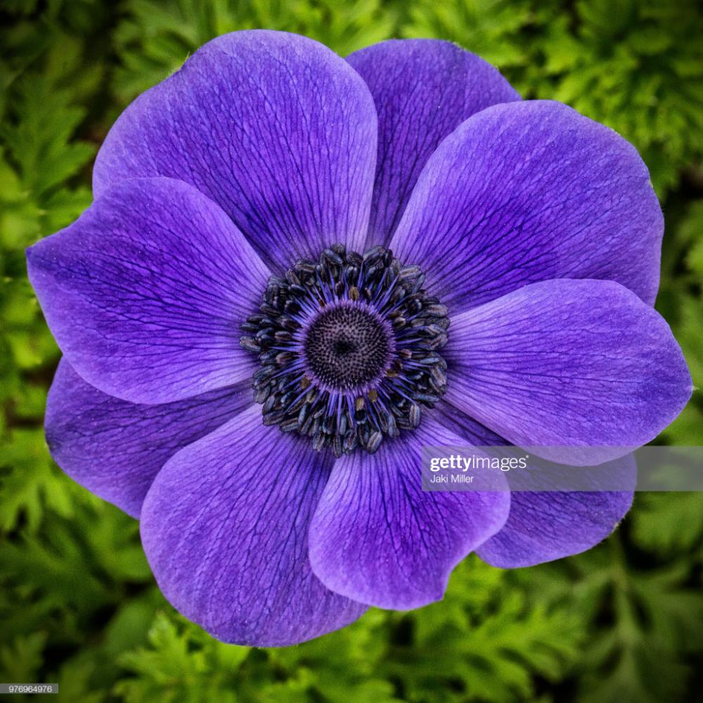 Stock Photo Purple Blue Anemone Anemone Blue And Purple Purple