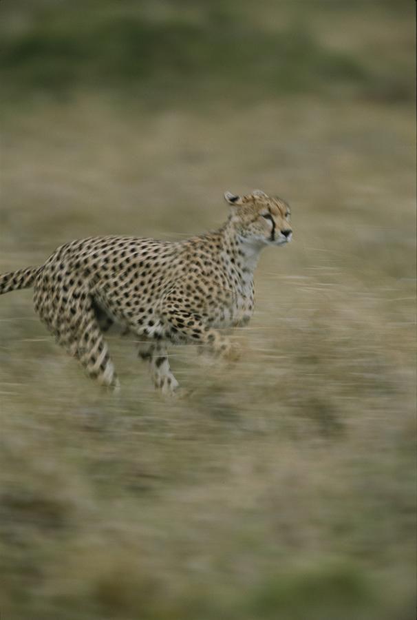 Cheetah Running Through The Grasslands