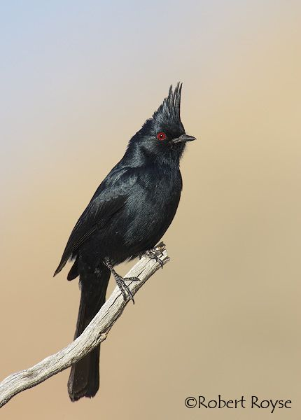 Phainopepla Bird Life List Animals Beautiful Beautiful Birds