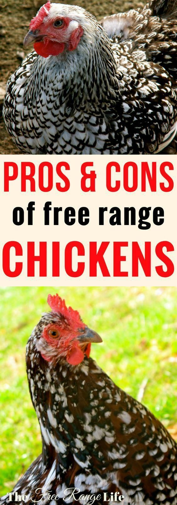 The Pros and Cons of Free Range Chickens | Chickens ...
