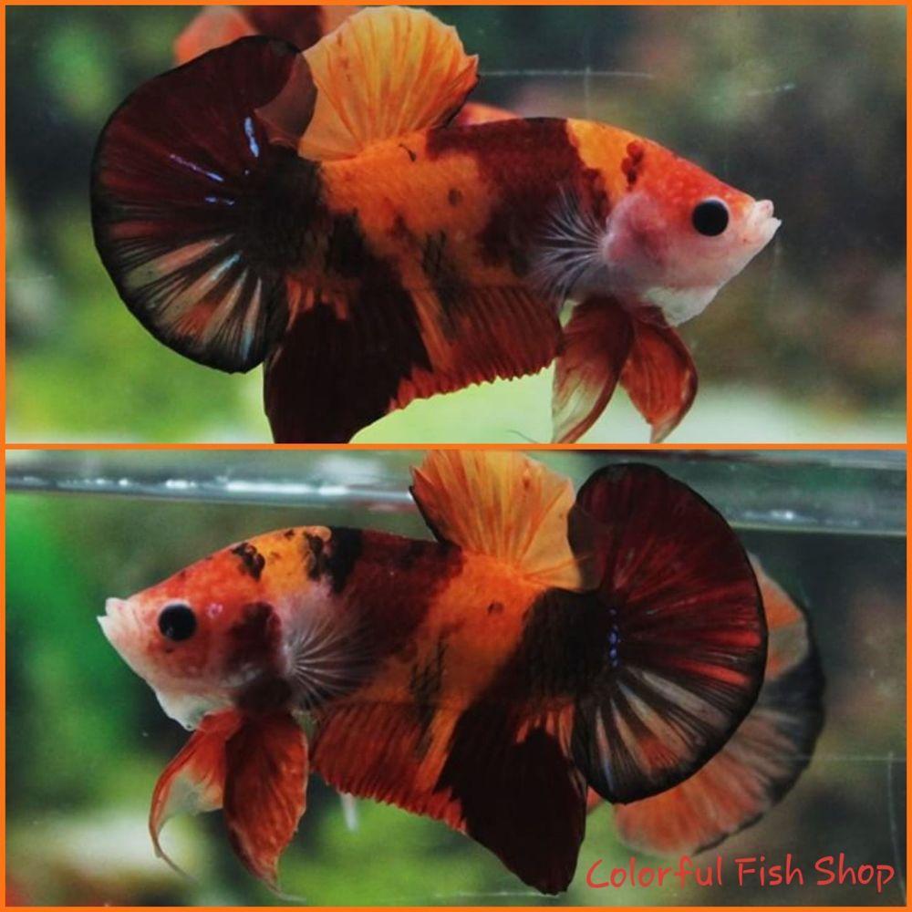 Live Betta Fish A Grade Orange Nemo Tiger Koi Galaxy Hmpk Halfmoon Plakat Ikan Cupang Ikan