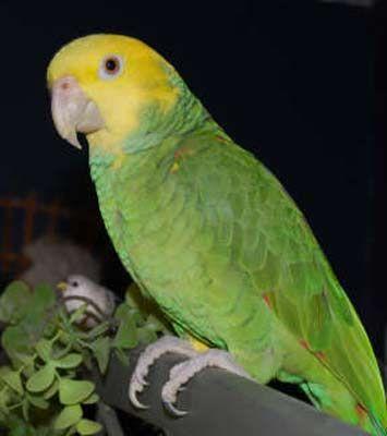Amazon parrot - Wikipedia