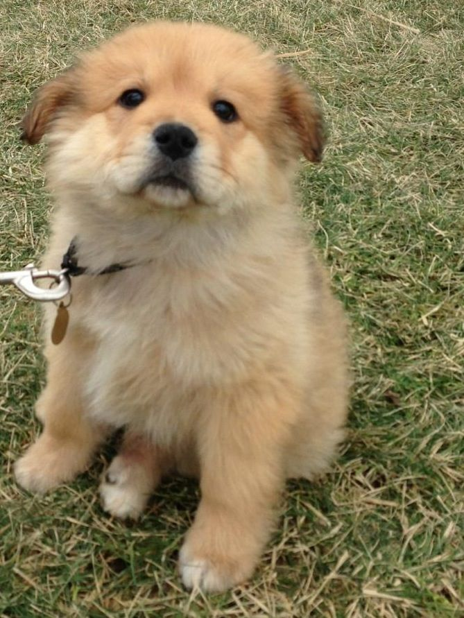 Golden Chow Mix Pets Dog Breeds Puppies