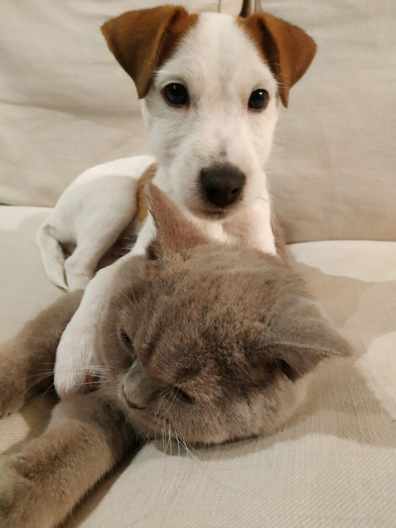 Épinglé sur Jack Russell Terrier/Chihuahua