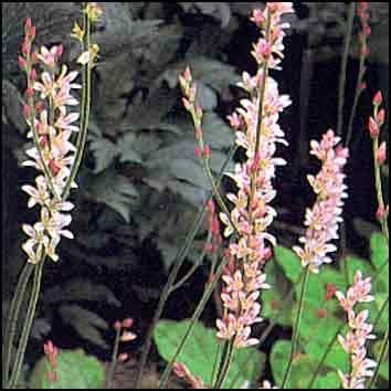 Francoa sonchifolia, kranssikukka. Mv., aur./puolivarjo