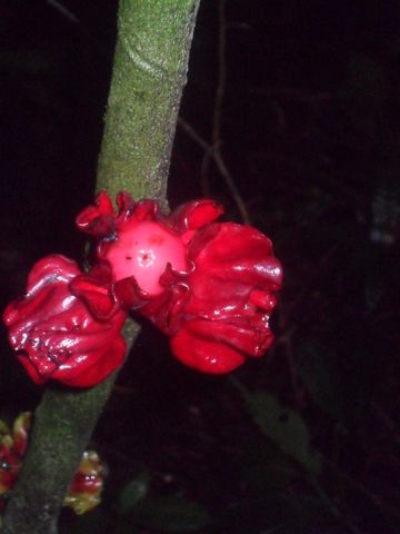 Diospyros preussii is a rare African persimmon relative with sweet, edible red fruit encased in showy maroon sepals (the small leaves that surround the flower petals) that are reminiscent to chunks of ham. The hardwood trunk and branches are similar in looks, and usage, to ebony. It can be found in local Cameroon markets, and is well appreciated.