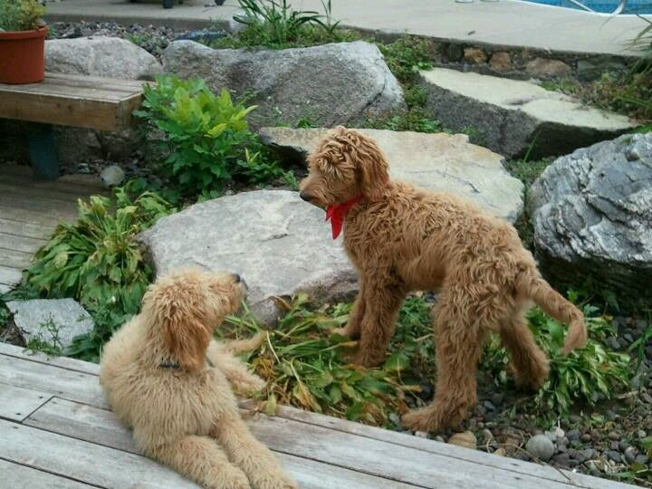 Colby rustle golden doodle sibling pups goldendoodle