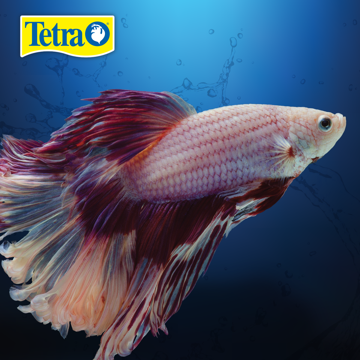 The Breathtaking Betta Is A Great Starter Fish Relatively Easy To Care For Fancy Tailed Bettas Can Bring Brilliance To Your Home O Betta Fish Care Tetra Fish