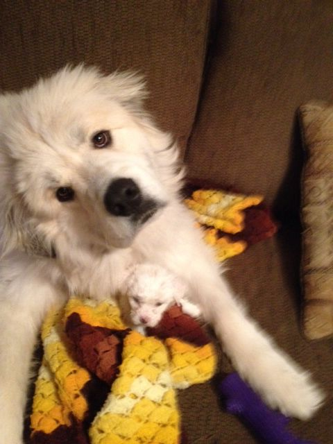 Marley Our 1 Year Old Great Pyrenees And 5 Week Old Bichon Frise