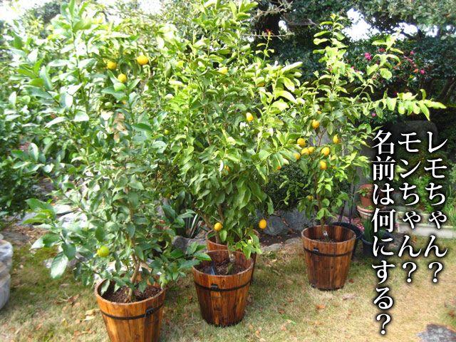 Photo of 観音山レモンツリー【家族と共に】送料無料!-国産レモンの観音山フルーツガーデン